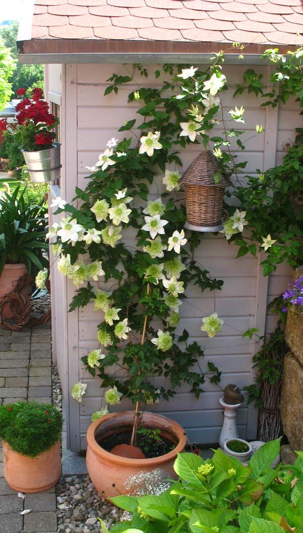 clematis florida alba plena friedrich m westphal. Black Bedroom Furniture Sets. Home Design Ideas